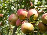 Heritage Apple Breeds
